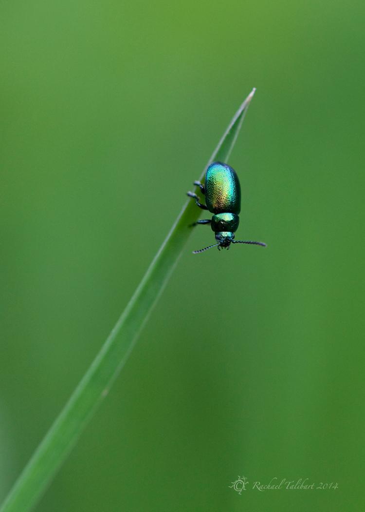 Little shiny beetle