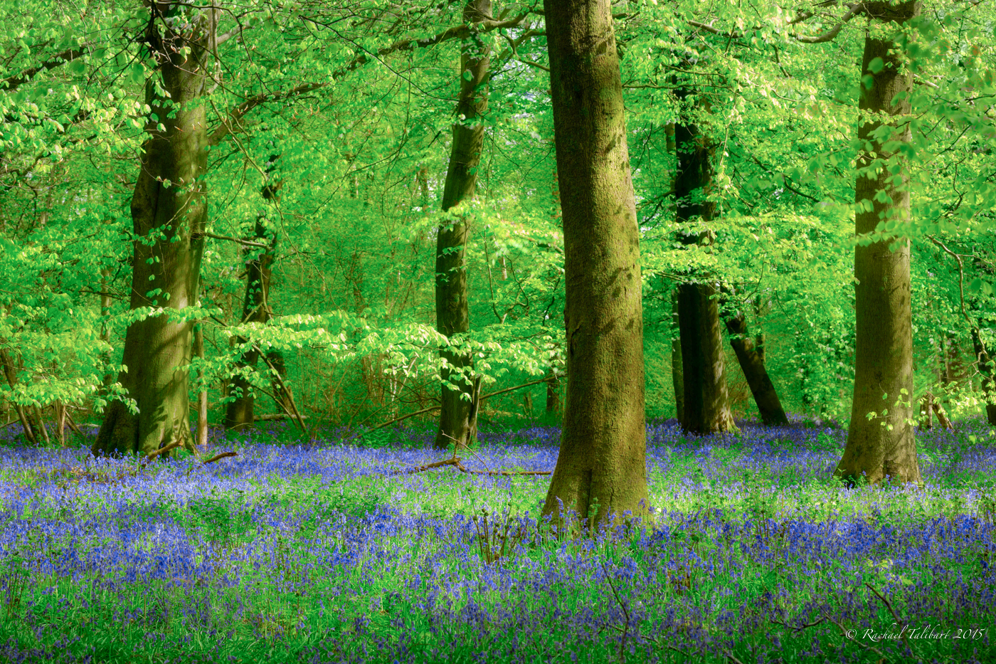 Bluebells at White Down